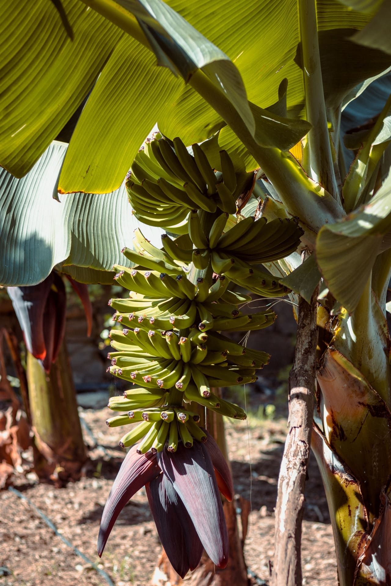 banana trees surrounded by mulch in north florida