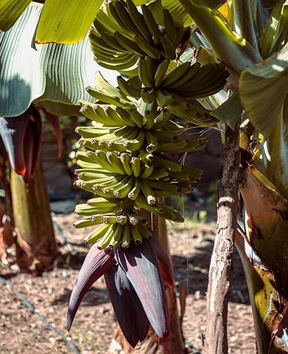 banana trees in mulch