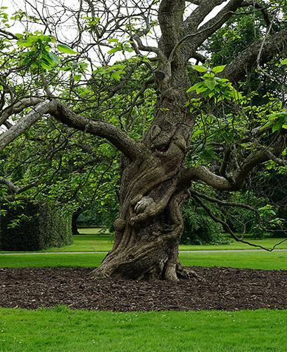 beautiful tree with many branches surrounded by mulch