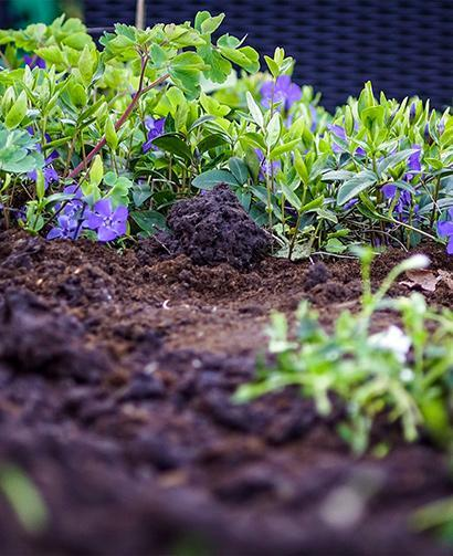 top soil in garden, pretty purple and green plants
